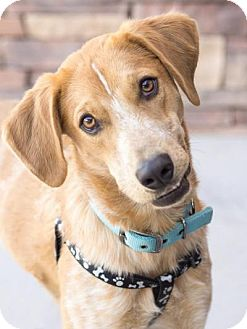 Golden Retriever/Australian Shepherd Mix Dog for adoption in Chandler, Arizona - Buddy