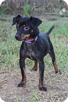 Chihuahua/Dachshund Mix Dog for adoption in Pilot Point, Texas - JACK