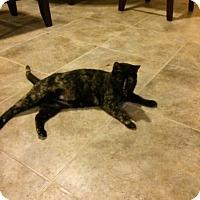 Calico Cat for adoption in oklahoma city, Oklahoma - Midnight