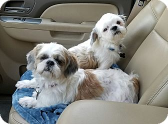 Shih Tzu Mix Dog for adoption in Humble, Texas - Plum & Grover