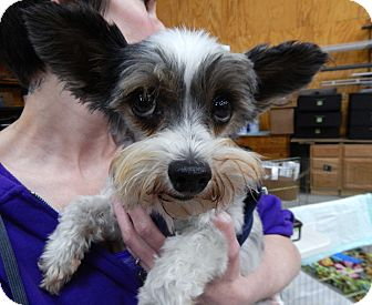 Yorkie, Yorkshire Terrier Dog for adoption in Fort Atkinson, Wisconsin - Bianca