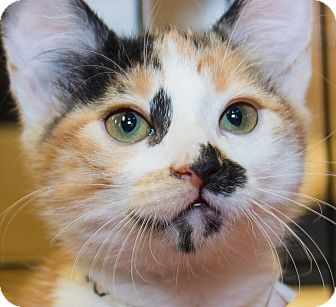 Calico Kitten for adoption in Irvine, California - Freckles