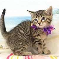 Domestic Shorthair Kitten for adoption in Harrisonburg, Virginia - Fulla