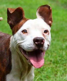 American Pit Bull Terrier/Boston Terrier Mix Dog for adoption in Ridgeland, South Carolina - Patches ++