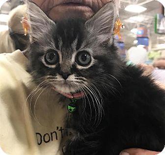 Domestic Longhair Kitten for adoption in Fairfax Station, Virginia - Lolly Pop