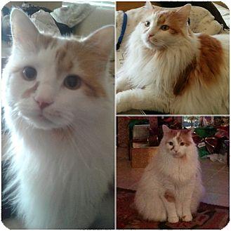 Domestic Longhair Cat for adoption in Richmond, Texas - Pumpkin