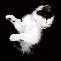 Adopt A Pet :: Spot - Hinton, OK
