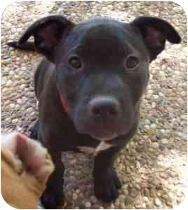 Pit Bull Terrier/Blue Heeler Mix Dog for adoption in College Station, Texas - Hagrid