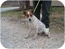 Australian Cattle Dog Mix Dog for adoption in Broomfield, Colorado - Patriot