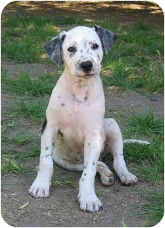 Dalmatian Puppy for adoption in Pacific Grove, California - Eddie