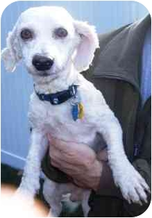 Bichon Frise Mix Dog for adoption in Osseo, Minnesota - Charlie