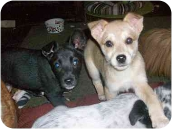Labrador Retriever/Australian Cattle Dog Mix Puppy for adoption in south plainfield, New Jersey - Emily(adopted) and Jed