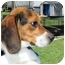 Photo 2 - Beagle Dog for adoption in Mahwah, New Jersey - Beethoven