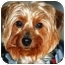 Photo 1 - Yorkie, Yorkshire Terrier Dog for adoption in Commerce TWP, Michigan - HONEY/SPEC NEEDS