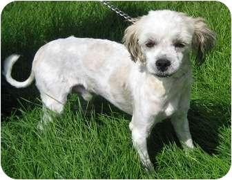 Shih Tzu Mix Dog for adoption in Columbus, Nebraska - Louie