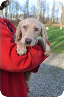 Labrador Retriever Mix Puppy for adoption in Salem, Massachusetts - Claire, Bea's Puppies