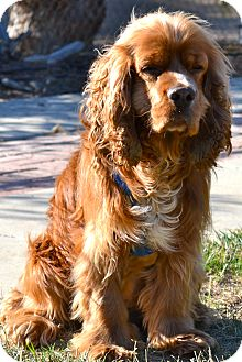 Cocker Spaniel Mix Dog for adoption in Simi Valley, California - Qunicy