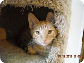 Domestic Shorthair Kitten for adoption in Riverside, Rhode Island - Parker