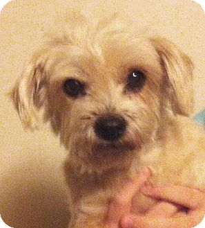 Yorkie, Yorkshire Terrier/Poodle (Miniature) Mix Dog for adoption in Orlando, Florida - Jazzy