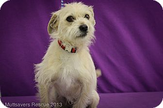 Terrier (Unknown Type, Small) Mix Puppy for adoption in Broomfield, Colorado - Jose Cuervo