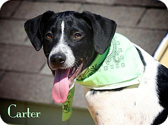 Pointer Mix Puppy for adoption in Wilmington, Delaware - Carter