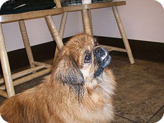Pekingese Mix Dog for adoption in Richmond, Virginia - Muggles