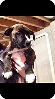 Labrador Retriever/Pit Bull Terrier Mix Puppy for adoption in Maryville, Illinois - William