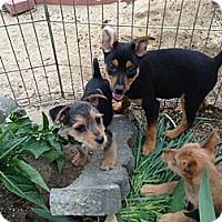 Adopt A Pet :: Scruffy puppy 2 - Fowler, CA