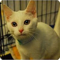 Adopt A Pet :: Bo Peep #1 - Lunenburg, MA