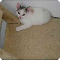 Adopt A Pet :: Calico kitten - Etobicoke, ON