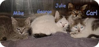 Domestic Shorthair Kitten for adoption in Georgetown, South Carolina - George
