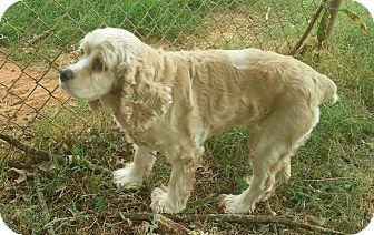 Cocker Spaniel Mix Dog for adoption in Marshfield, Massachusetts - Jessie
