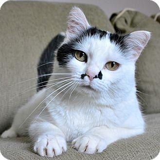 Domestic Mediumhair Cat for adoption in Edmonton, Alberta - Abby