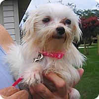 Adopt A Pet :: Sugar - Jacksonville, FL