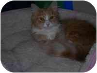 Domestic Longhair Cat for adoption in Columbus, Ohio - Amber