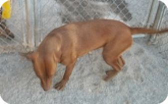 Labrador Retriever/Pit Bull Terrier Mix Dog for adoption in Silver City, New Mexico - Angel