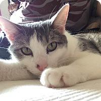 Adopt A Pet :: Pippin - Chicago, IL