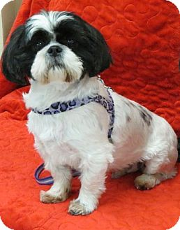 Shih Tzu Dog for adoption in Eden Prairie, Minnesota - BRODYpending