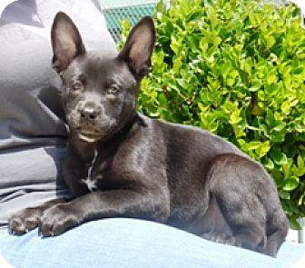 American Bulldog/Shepherd (Unknown Type) Mix Puppy for adoption in Lathrop, California - Captain