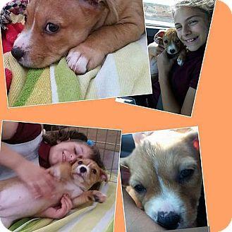 Corgi/Dachshund Mix Puppy for adoption in Chandler, Arizona - buttercup