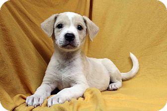 Labrador Retriever/American Staffordshire Terrier Mix Puppy for adoption in Westminster, Colorado - Karma