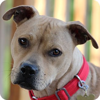 Pit Bull Terrier Mix Dog for adoption in West Milford, New Jersey - PIPPA