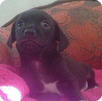 Dachshund Mix Puppy for adoption in Gilbert, Arizona - Jinn