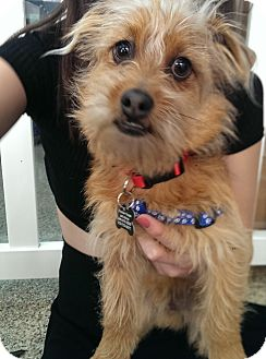 Terrier (Unknown Type, Medium) Mix Dog for adoption in Thousand Oaks, California - Toto