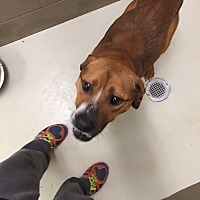 Shepherd (Unknown Type) Mix Dog for adoption in Charlotte, North Carolina - Bronx