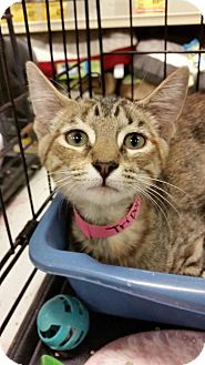 Domestic Shorthair Kitten for adoption in Williamston, North Carolina - Tripoli