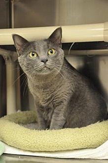 Domestic Shorthair/Domestic Shorthair Mix Cat for adoption in Pompano Beach, Florida - Nina