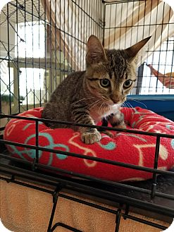 Domestic Shorthair Kitten for adoption in Fallbrook, California - Oliver