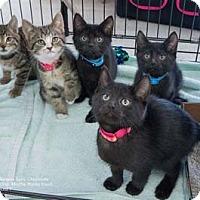 Adopt A Pet :: Ice T - Merrifield, VA