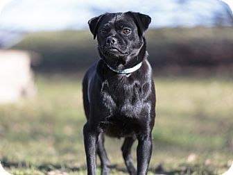 Pug Mix Dog for adoption in Ile-Perrot, Quebec - Bindi